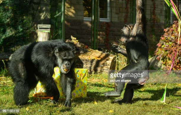 The chimpanzee 'Benny' gets a surprise for his 50th birthday in Karlsruhe Germany 12 October 2017 'Benny' was born in the wilderness and came to the...