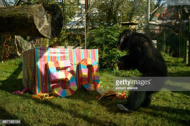 The chimpanzee 'Benny' slowly approaches his surprise for his 50th birthday in Karlsruhe Germany 12 October 2017 'Benny' was born in the wilderness...