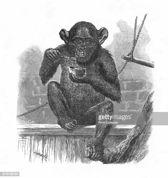 The Chimpanzee Sally' c1900 From Baby's Animal Picture Book by Aunt Louisa [Frederick Warne Co London New York c1900] Artist Helena J Maguire