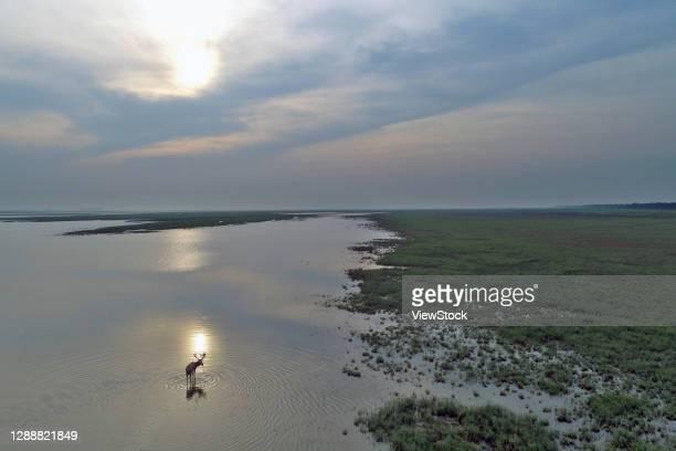 the chinese yellow sea in jiangsu yancheng dafeng elk national nature reserve of wild elk herd - province du jiangsu photos et images de collection