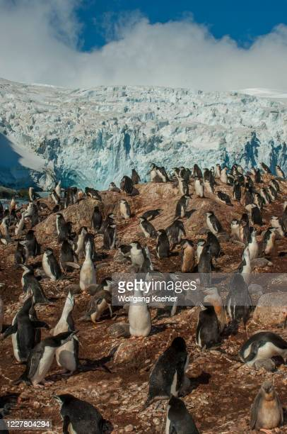 The Chinstrap penguin colony with a glacier in the background at Point Wild, where the men of the Shackleton Endurance expedition 1914 to 1916...