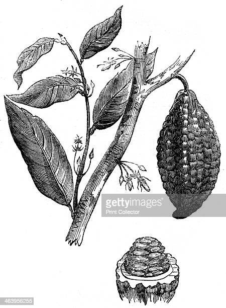 The chocolate nut tree 1886 Pod of the Cacao tree from which cocoa and chocolate are made Illustration from Cyclopaedia of Useful Arts Mechanical and...