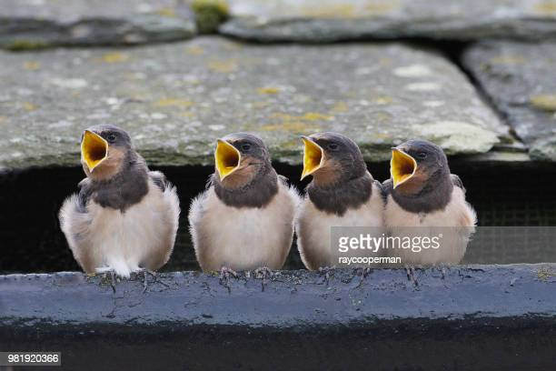 the choir - young bird stock pictures, royalty-free photos & images