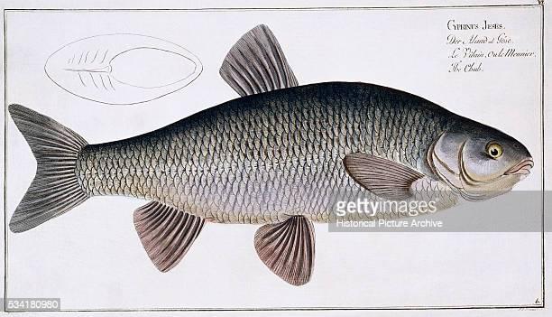 The Chub Fish by Johan Friedrich August Krueger and Johan Friedrich Henning