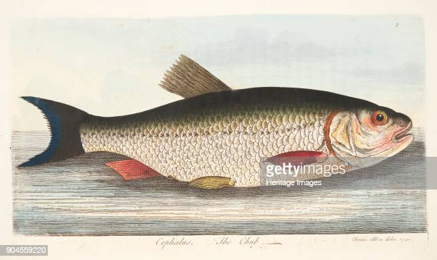 The Chub from A Treatise on Fish and Fishponds pub 1832
