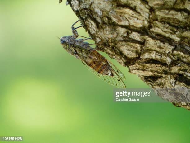 the cicada - cicala foto e immagini stock