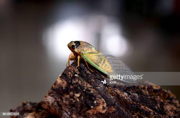 The cicadas lying on the tree