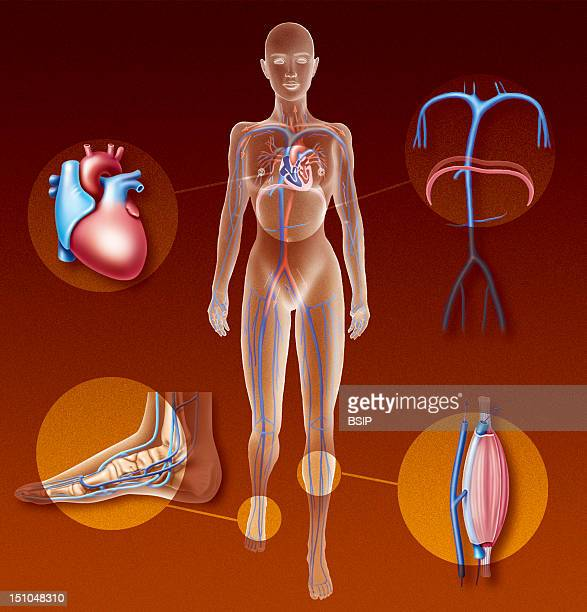 The Circulatory Pumps Illustration Of The Four Types Of Pumps Which Send Venous Blood Back Toward The Heart From Left To Right The Cardiac Pump Which...