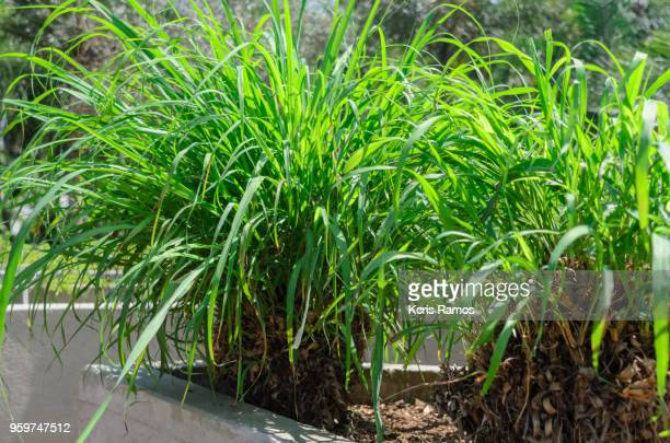 the citronella, scientifically known as cymbopogon nardus or cymbopogon winterianus, is a medicinal plant with repellent properties for insects, flavoring, bactericidal and soothing, and is widely used in the manufacture of cosmetics. - erva cidreira imagens e fotografias de stock