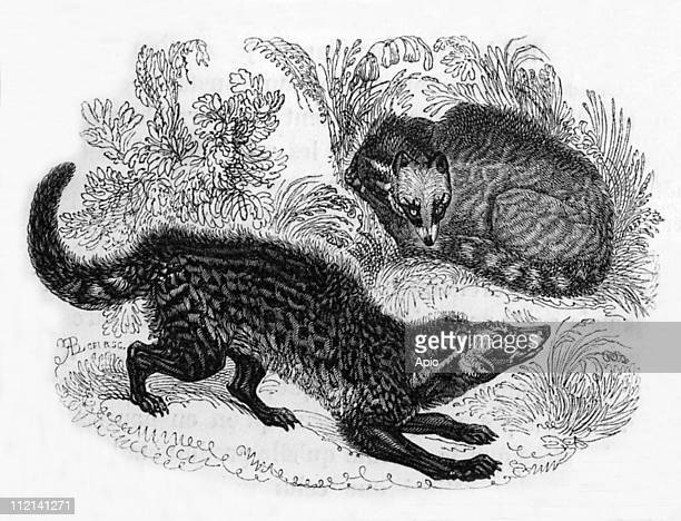 The civets of the 'jardin des plantes' in Paris engraving from book 'Le Jardin des plantes' by Pierre Boitard 1845
