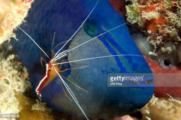 The cleaner shrimp Lysmata amboinensis is taking a close look for parasites on this redtooth triggerfish Odonus niger Mabul Island Malaysia