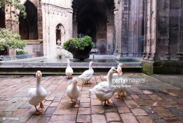 The Cloister of the 13 Geese in The Saint Eulalia Cathedral in Barcelona.