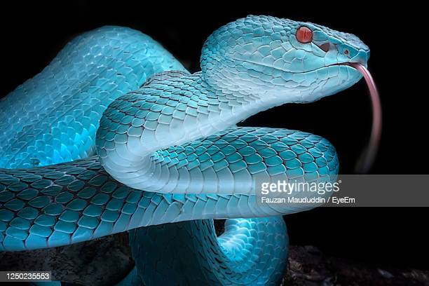 the close up look of blue insularis viper snake - animal reptile photo series - snakeskin stock pictures, royalty-free photos & images