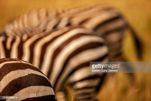 the close up rear view detail of zebra (equus burchelli) buttock - hairy bum stock pictures, royalty-free photos & images