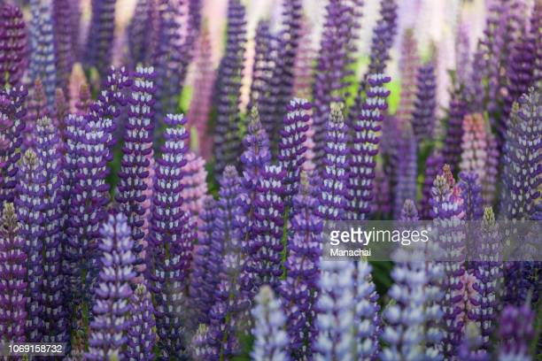 the closeup of lupine flower - new zealand foto e immagini stock