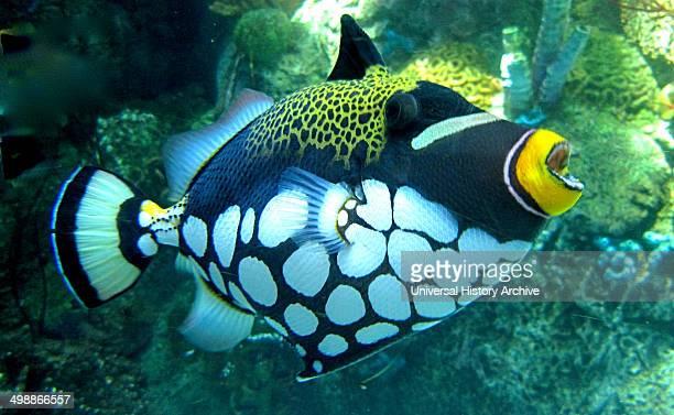 The clown triggerfish Balistoides conspicillum