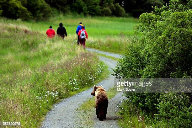 The Coastal Brown Bear share the trails with humans near the lower Brooks River in the Katmai National Park and Preserve in Alaska July 21 2014