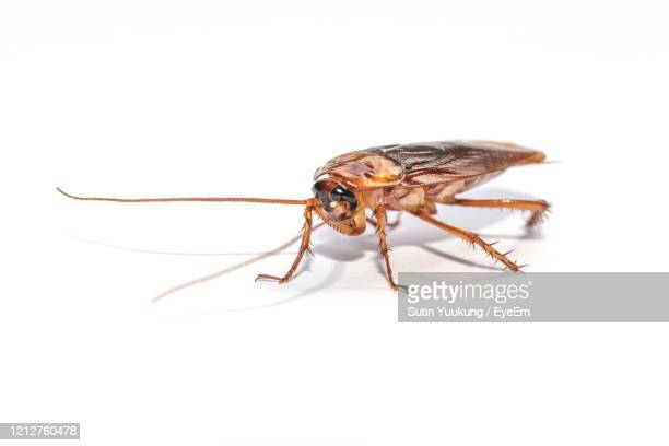 the cockroach isolated on the white background. - cockroach stock pictures, royalty-free photos & images