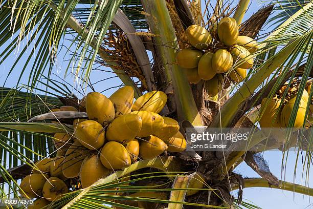 The coconut palm or cocos nucifera is a tree of the palm family and one of the most important crops in the tropics The leaning trunk of the tree...