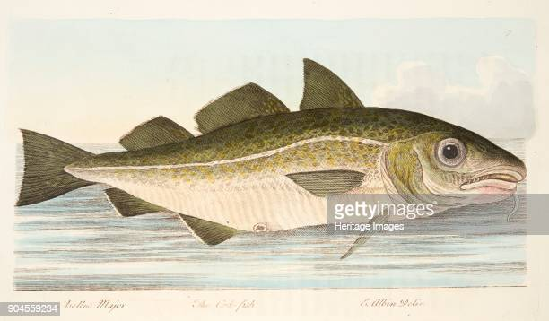 The Cod Fish from A Treatise on Fish and Fishponds pub 1832