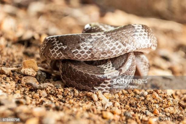 the coiled one - bull snake stock pictures, royalty-free photos & images