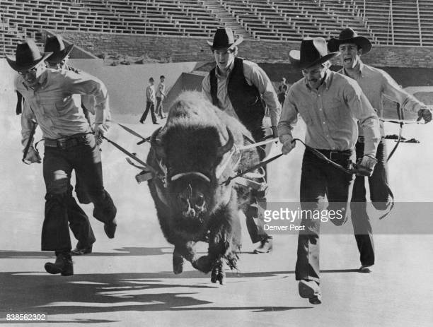 The Colorado University buffalo mascot is en route to Jacksonville Fla this week to be on hand for the Saturday Gator Bowl game between CU and...