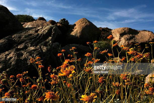 The colorful brittle bush blooms reach for the sky in AnzaBorrego Desert State Park It doesn't matter if there is a 'super bloom' or just a...
