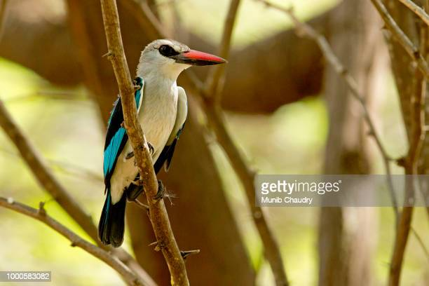 the colourful kingfisher! - gray headed kingfisher stock pictures, royalty-free photos & images