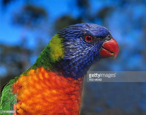 The colourful Rainbow Lorikeet ( Trichoglossus haematodus )