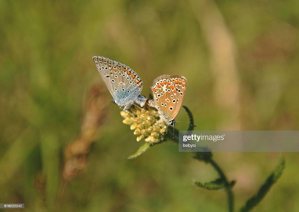 The common blue, Polyommatus icarus : Stock Photo