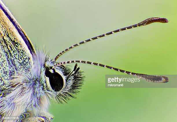 The common blue small butterfly, Polyommatus icarus-extreme close-up.