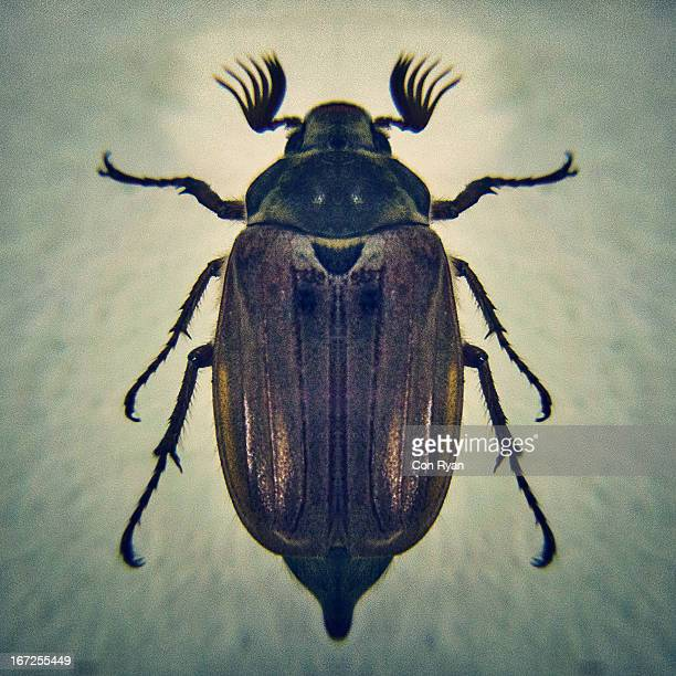 The Common Cockchafer Beetle