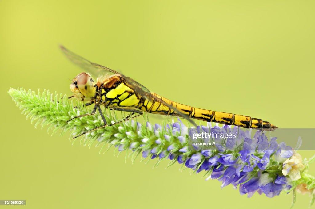 The common darter dragonfly (sympetrum striolatum)-female. : Stock Photo
