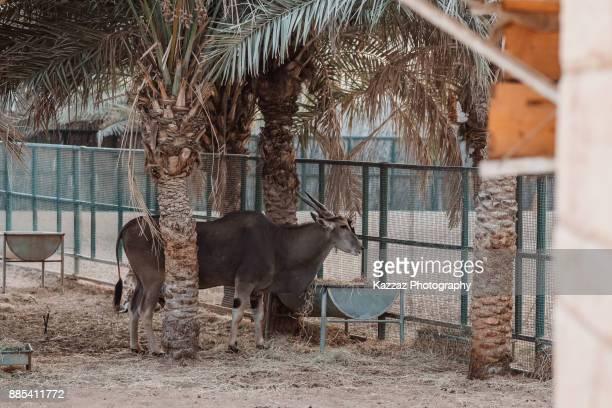 The common eland