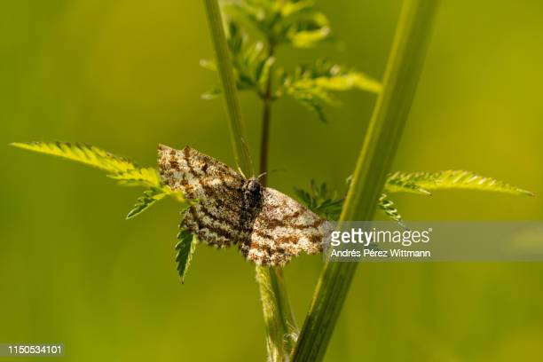 The common heath, is a moth of the family Geometridae (Ematurga atomaria)