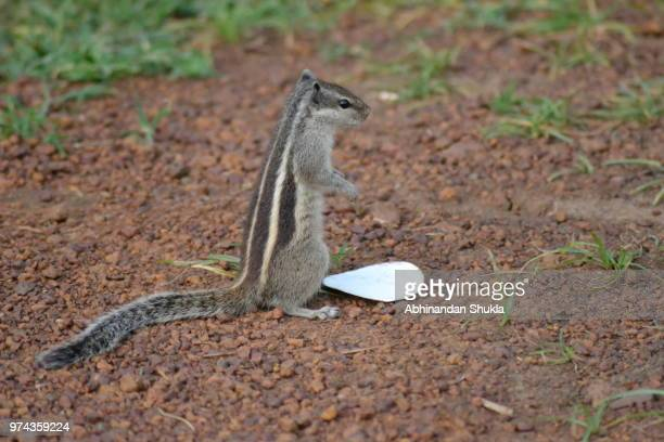 The Common Indian Squirrel