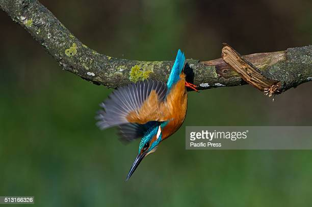 PARMA TREVISO FELINO ITALY The Common kingfisher likes to stay on the branches near marshes to be able to dive into the water and catch small fish