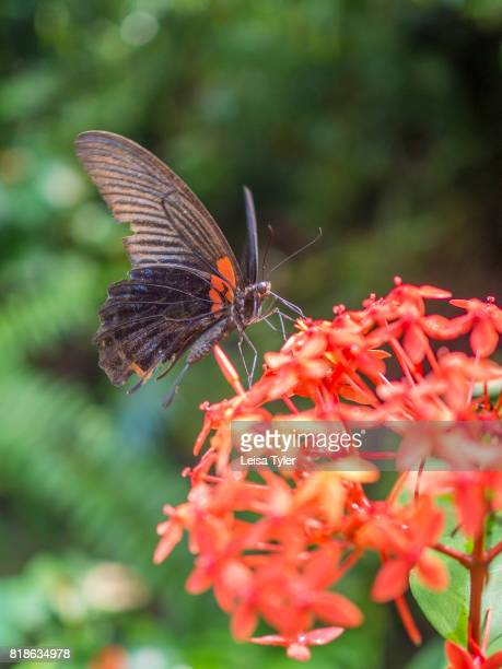 The common Mormon a butterfly at the Datai Resort on the Malaysian island of Langkawi The first place to rise from the ocean during the Cambrian...