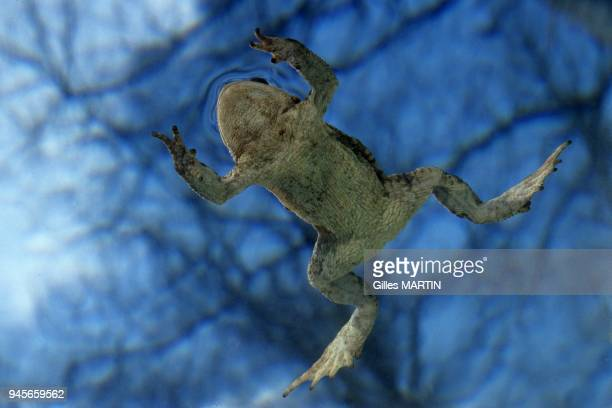 the common toad is photographed from below thanks to the possibilities offered by the mobile aquarium 50 mm MF macro lens 1/60 sec At f/8...