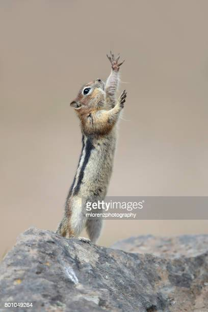 the conductor - squirrel stock pictures, royalty-free photos & images