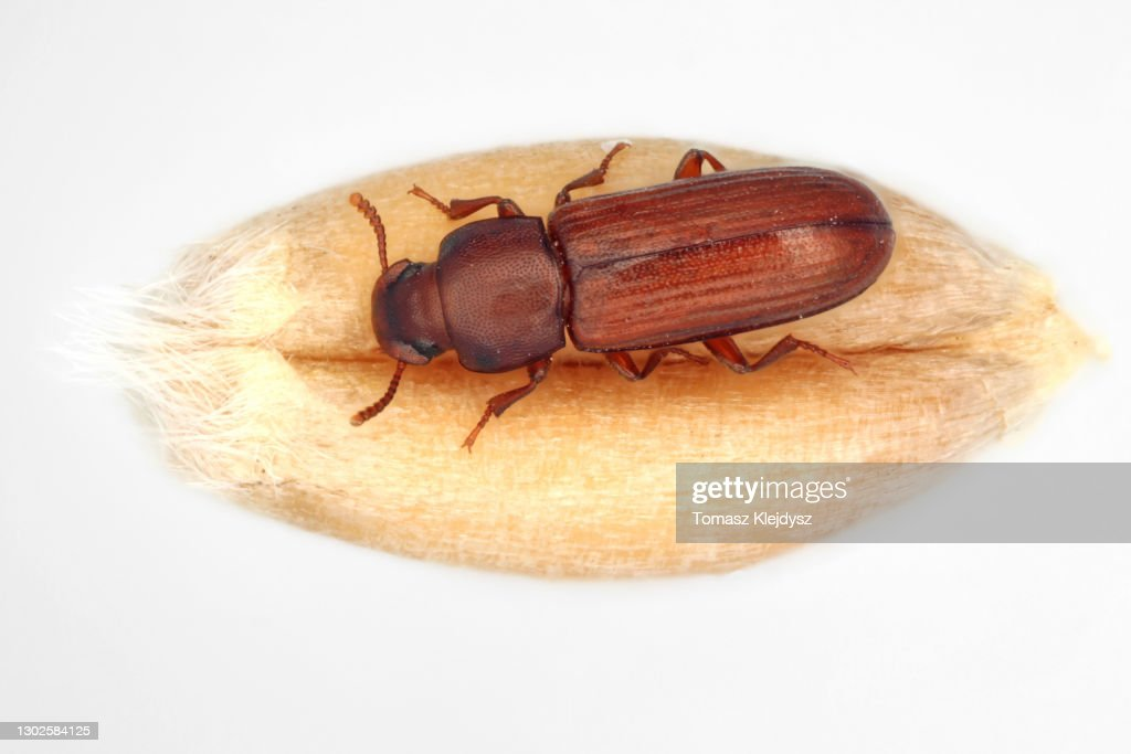 The confused flour beetle Tribolium confusum is a type of darkling beetle known as a flour beetle, is a common pest insect in stores and homes known for attacking and infesting stored flour and grain. : Foto de stock