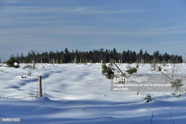 The coniferous area behind peat bogs in winter
