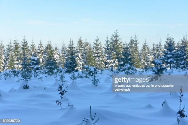 The coniferous trees under one meter snow
