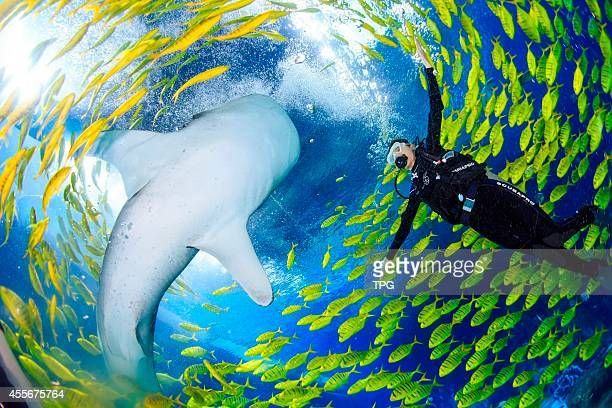 The contestant of Miss China play with whale shark at world's biggest marine theme park on 17th September, 2014 in Zhuhai, Guangdong, China .