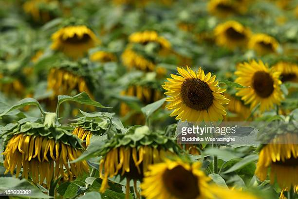 The continuing summer heat has dried up the flower heads and petals in a sunflower field during a Himawari Matsuri on July 24 2014 in Sayo Japan As...