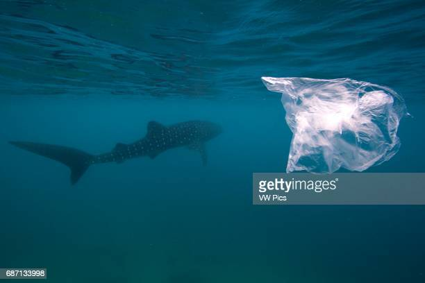 The controversial whale shark scene of Oslob More and more whale sharks are gahtering here since the fishermen started feeding the sharks and...