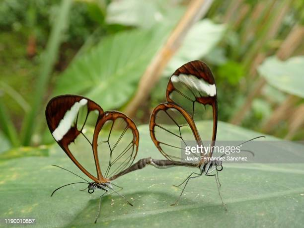 the copulation of two greta oto butterflies, first on a leaf. greta oto - accouplement animal photos et images de collection