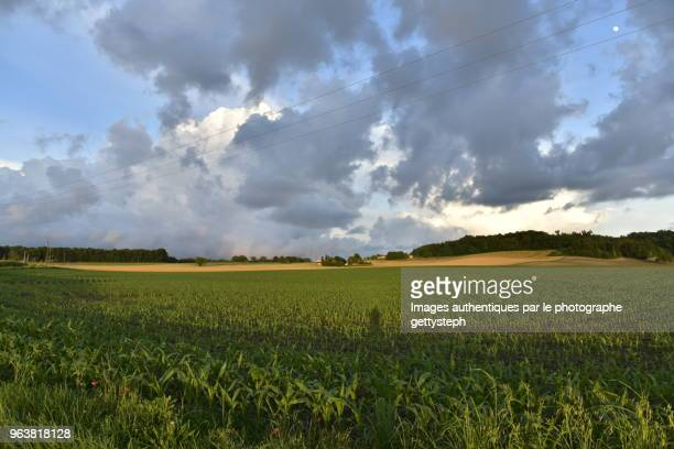 The corn plantation and blond color of wheat field farther under light effect of sunset