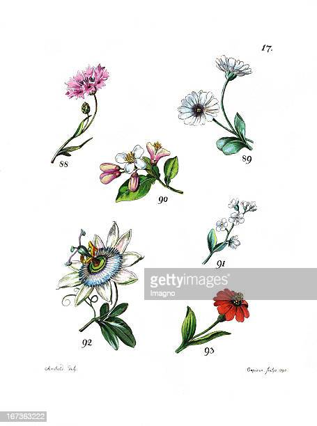 The cornflower the daisy the tansy the orange blossom the passiflora or passion vines and the golden everlasting Lithography From Die Vier...