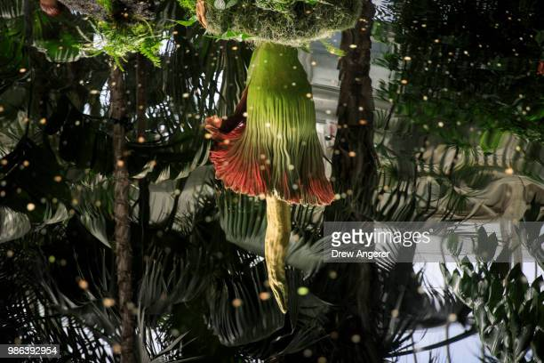 The 'corpse flower' is reflected in water at the New York Botanical Garden June 28 2018 in The Bronx borough of New York City The rare and odorous...